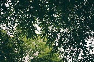 Tree Foilage
