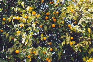 Close up view of branches full of fresh oranges on an orange tree at sunny day