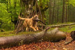 Malinois dog jumping a tree trunk