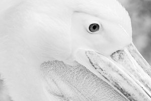 Eye White Pelican