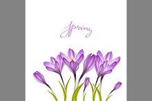 Spring violet crocuses on white
