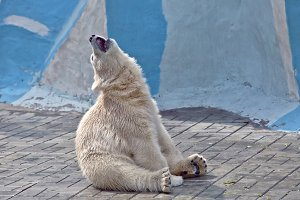 The small polar bear sits on a floor and sing song