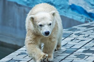 Polar bear cub walks