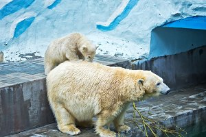 Polar bear with a cub on his back
