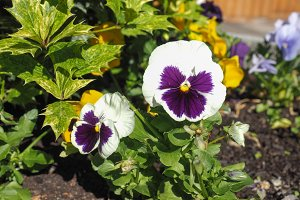 White and purple Viola flower