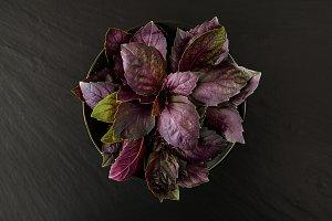 Fresh juicy red basil herb