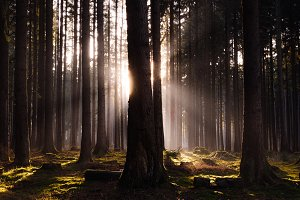 Sun Between the Trees in the Forest
