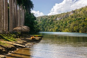 Tropical palm tree forest near beach on a river in Cuba. High palm trees growing near river.