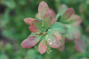 Rain drops on fresh green leaves.