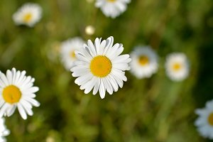 Chamomile in the Summer Time