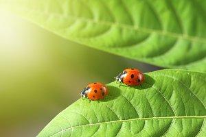 Two ladybug on a green leaf