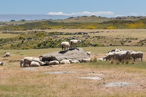 Sheep grazing in New Zealand