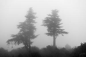 Echium flowering tree in fog