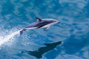 Dolphin off coast of New Zealand