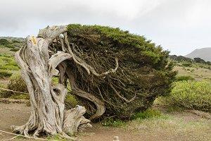 The wind juniper tree, El Hierro.