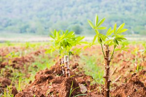Cassava manioc plant in farmland.