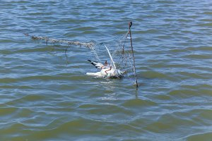 Dead seagull hit the fishing nets