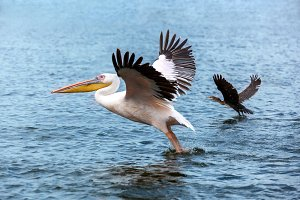 pelican and duck taking off on Lake, Great white Pelican catches