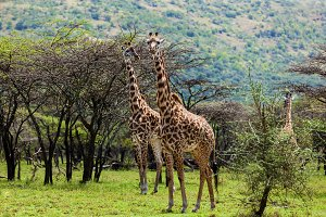 Group of giraffes on safari