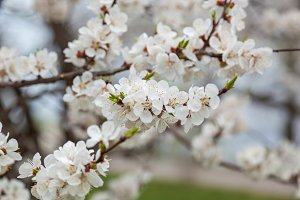 flowering apricots and cherries are in a garden, flowers on tree