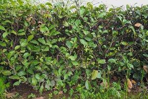 Hedgerow shrubs barrier