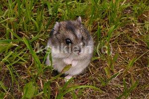 Djungarian hamster photo