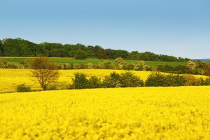 Yellow field with rapeseed flowers and trees between fields. Rape in blossom