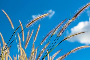 grass flowers with blue sky.