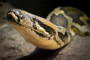 Indian rock python