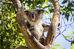 Koala bear in tree in Australia
