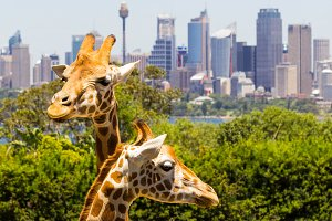 Giraffes with a view of Sydney