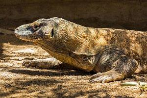 Komodo dragon or lizard