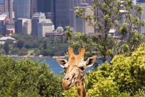Giraffe head with Sydney skyline