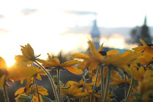 Blackeyed Susans with church steeple