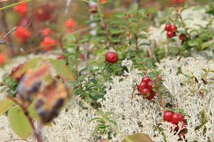 Cranberries growing in tundra