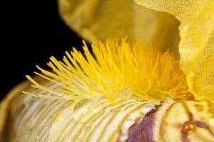 Dewy Iris
