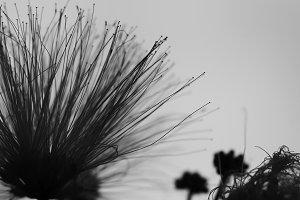 Monochrome Mimosa