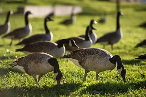 Gaggle of gooses on green grass