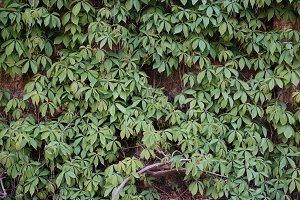 A photo of a climbing plant, vine