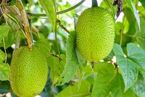Green Gac fruit