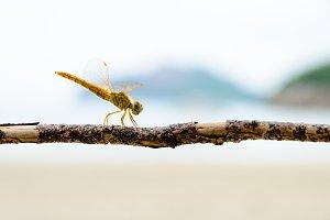 Pantala Flavescens, Yellow dragonfly