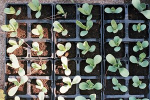 A photo of seedlings in a tray