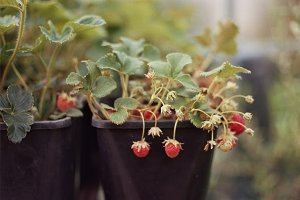 A photo of a strawberry plant