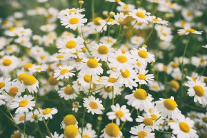 Chamomile flowers in garden