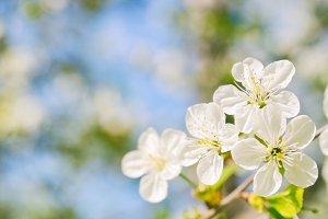 Beautiful cherry flowers