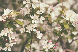 Blossom apple tree in retro style