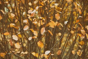Autumn leaves on bush