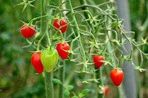 tomato cherry bulb