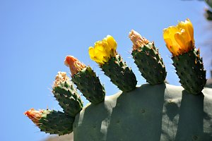 flowers and fruit of prickly pear