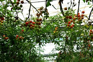 tomato lines in greenhouse